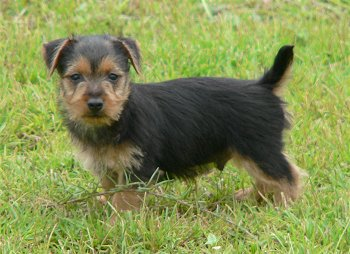 au-terrier-puppy