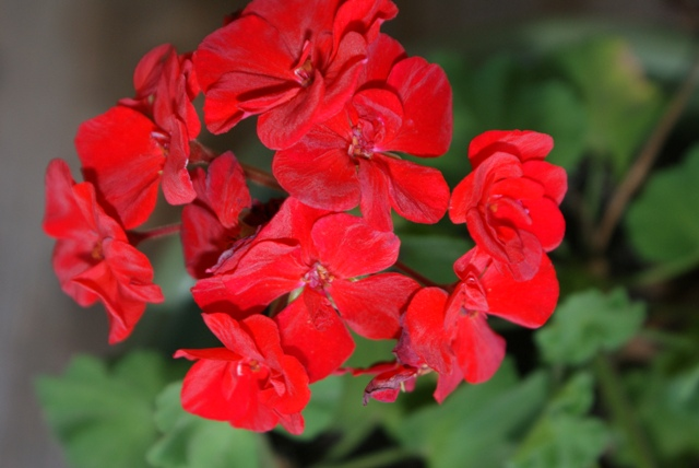 Geranium on the porch